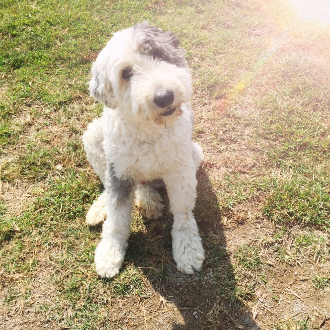 nigel old english sheepdog